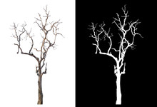 Isolated Death Tree On White B...