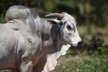 Portrait Of Nelore Bull In Bra...