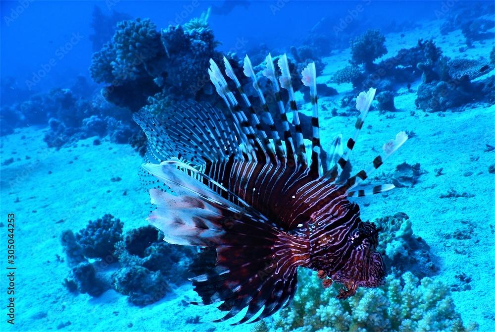 Fototapeta morze czerwone ryba rafa nurkowanie skrzydlice