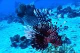 morze czerwone ryba rafa nurkowanie skrzydlice