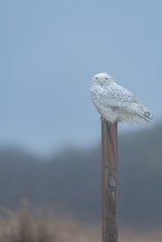 A Snowy Owl Perched On A Post ...
