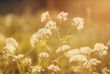 Summer Field, On Which Grow Gentle White Fluffy Flowers Of Wild Carrot, Lit By The Rays Of The Sun.