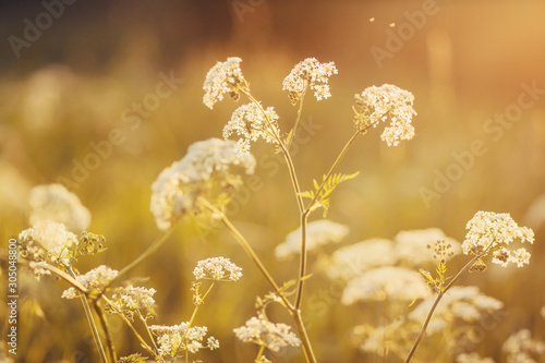 Cuadros en Lienzo  Summer field, on which grow gentle white fluffy flowers of wild carrot, lit by the rays of the sun