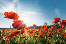 Poppy Field On A Sunny Afternoon. Beautiful Countryside With Red Flowers In Mountains. Bright Blue Sky With Fluffy Clouds. Summer Outdoors Happy Days Memories Concept