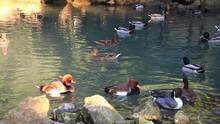 Lots Of Colorful Ducks Swim In...