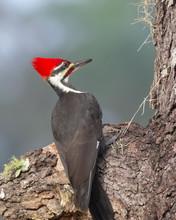 Pileated Woodpecker (Dryocopus...