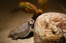 A Desert Horned Lizard Hides A...