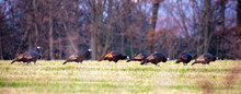 Eastern Wild Turkeys With A On...