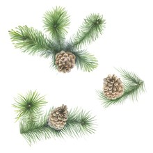Pine Tree Branches Isolated On...