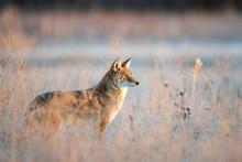 Urban Coyote Stare