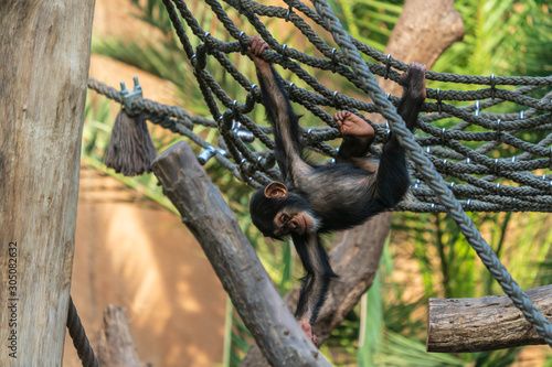 Cute young chimpanzee playing in a net in a zoo Fotobehang