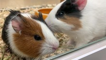 Two Cute Adorable Guinea Pigs ...