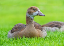 Young Egyptian Geese, Alopoche...
