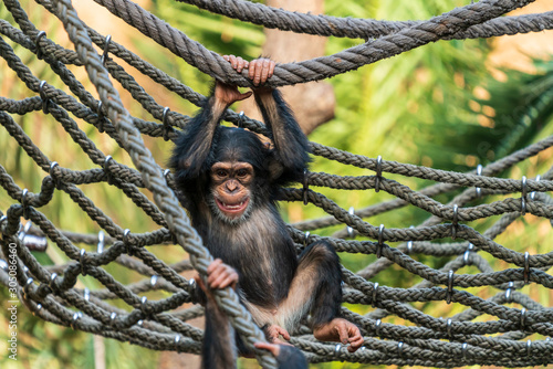 Leinwand Poster Young chimpanzee playing in a net in a zoo