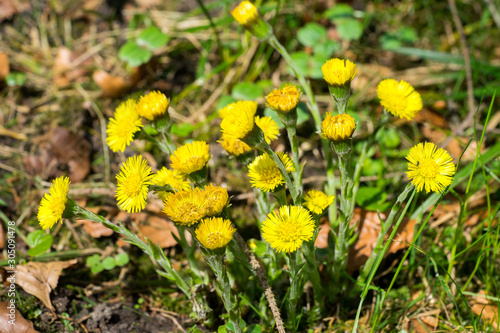 Vászonkép Closeup of coltsfoot plants (Tussilago farfara)