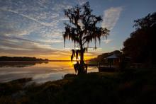 A Majestic Cypress Tree Draped With Spanish Moss At Sunrise, Lake Henderson,Florida