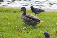 Gray Brown Duck On The Green G...