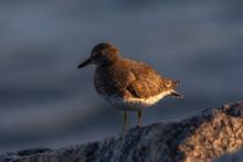 Ruddy Turnstone Bird Perched O...