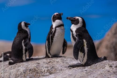 Closeup selective focus shot of cute penguins hanging out in Cape of Good Hope, Billede på lærred