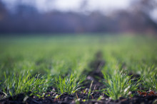 Young Green Wheat Growing In Soil. Agricultural Proces. Field Of Young Wheat Seedlings Growing In Autumn. Sprouting Rye Agriculture On A Field On A Foggy Autumn Day. Sprouts Of Rye.