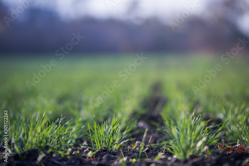 Foto auf AluDibond Olivgrun Young green wheat growing in soil. Agricultural proces. Field of young wheat seedlings growing in autumn. sprouting rye agriculture on a field on a foggy autumn day. Sprouts of rye.