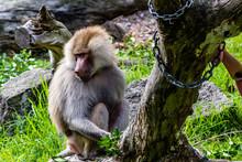 Hamadryas Baboon Patrols Around It's Territory. Auckland Zoo, Auckland, New Zealand