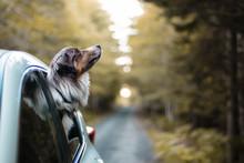 Adventure Dog Riding In Car, Road Trip