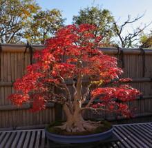 紅葉の盆栽