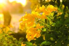 Tecoma Stans , Yellow Bell, Yellow Elder Flowers