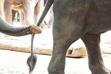 Wild Elephant's Tail