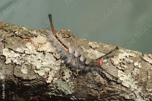 Obraz na plátne White-Marked Tussock Moth Caterpillar (Orgyia Leucostigma)