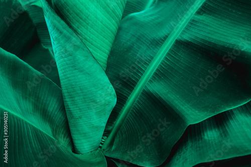 Fototapeta tropical banana leaf texture in garden, abstract green leaf, large palm foliage nature dark green background obraz na płótnie