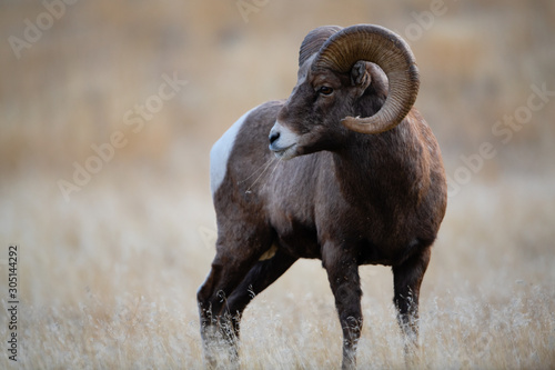 Bighorn Sheep in Montana Canvas Print