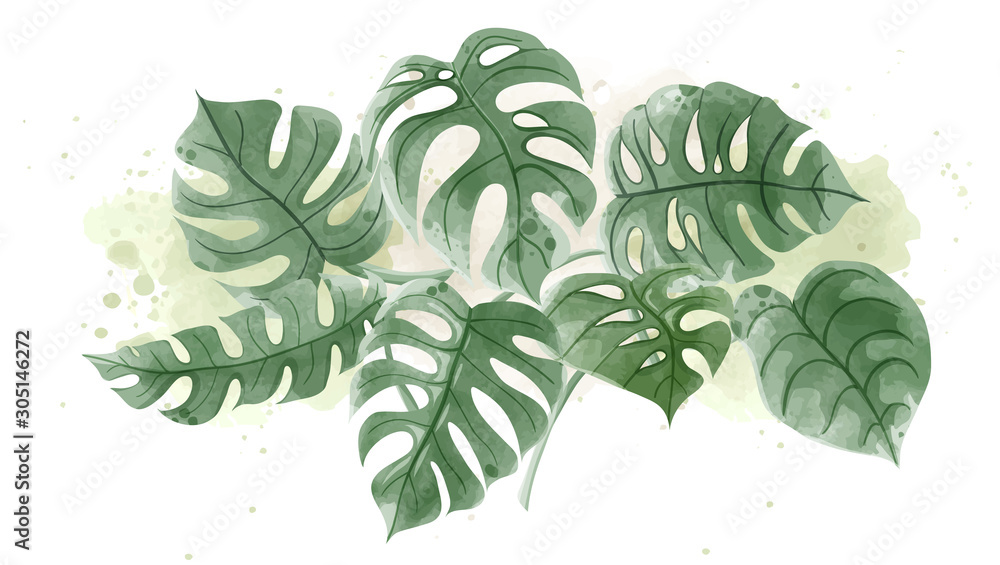 Watercolor of Monstera leaves on white background. <span>plik: #305146272 | autor: Chatchanok</span>