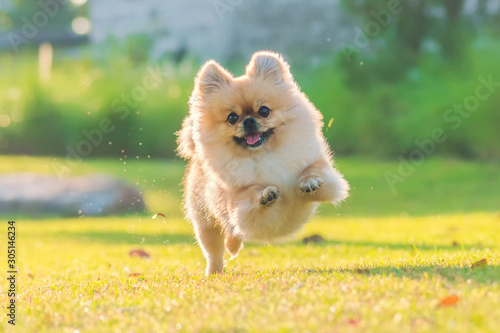 Papel de parede Cute puppies Pomeranian Mixed breed Pekingese dog run on the grass with happines