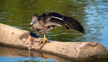 A Juvenile Yellow Billed Duck,...