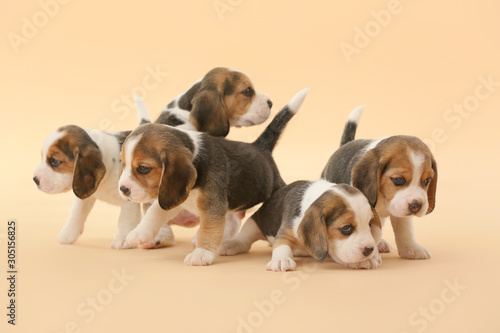 Carta da parati Cute beagle puppies on color background
