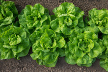 Fresh Organic Lettuce Growing ...