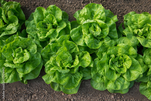 Foto Fresh organic lettuce growing in a greenhouse - flat lay, selective focus