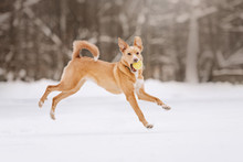 Mixed Breed Dog Running Outdoors In The Snow