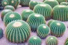 Closeup To Beautiful Big Or Large Echinocactus Grusonii Or Cactus.