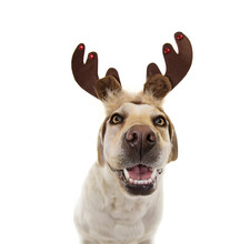 Happy Dog  Pet Celebrating Christmas Wearing A Reindeer Antlers Diadem. Isolated On White Expression
