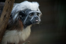 This Is A Close Up Of A Cotton Top Tamarin Monkey