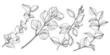 Vector Eucalyptus Tree Leaves....