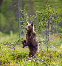 Brown Bear In A Forest Glade Is Standing On Its Hind Legs. White Nights. Summer. Finland.