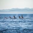 canvas print picture - Killer Whales pod in British Columbia, Canada