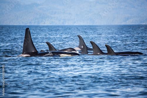 Obraz na plátně Killer Whales pod in British Columbia, Canada