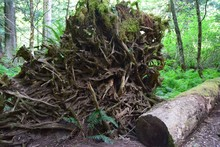 Closeup Of A Large Uprooted Tr...