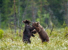 Two Young Brown Bears Are Play...