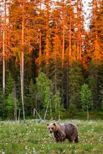 Brown Bear In A Clearing Again...